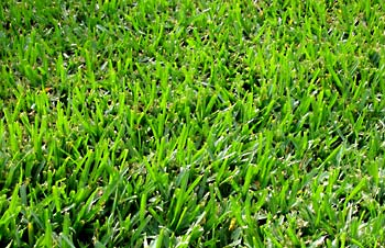 Phoenix transition to Bermuda Grass in the Spring
