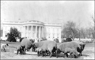 Sheep on theWhitehouse lawn