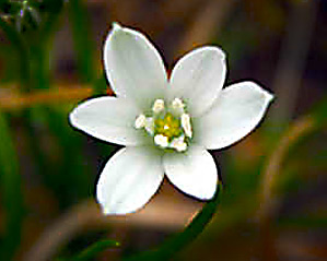 Star of Bethlehem Bloom
