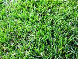 Turf Type Tall Fescue